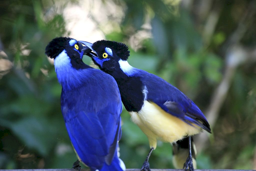 Plush-headed Blue Heron