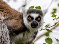 Ring Tailed Lemur with - Brown and white animal. Chatham, Kent, UK