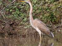 Purple Heron - Lifestyle and behavior
