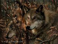 Wolf tribe - Fairy-tale wolves with a red cap.