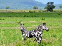 Funny thing is that I didnt - Two zebras on grass field. Belgrade, Serbia