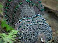 Peacock - Jigsaw puzzle. Animals. Bird.
