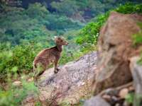 The Nilgiri Tahr is an - Selective focus photography of deer on steep hill during daytime. Chennai