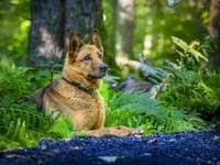 German shepherd in the woods - Complete the puzzle with a nice German Shepherd Dog. :)