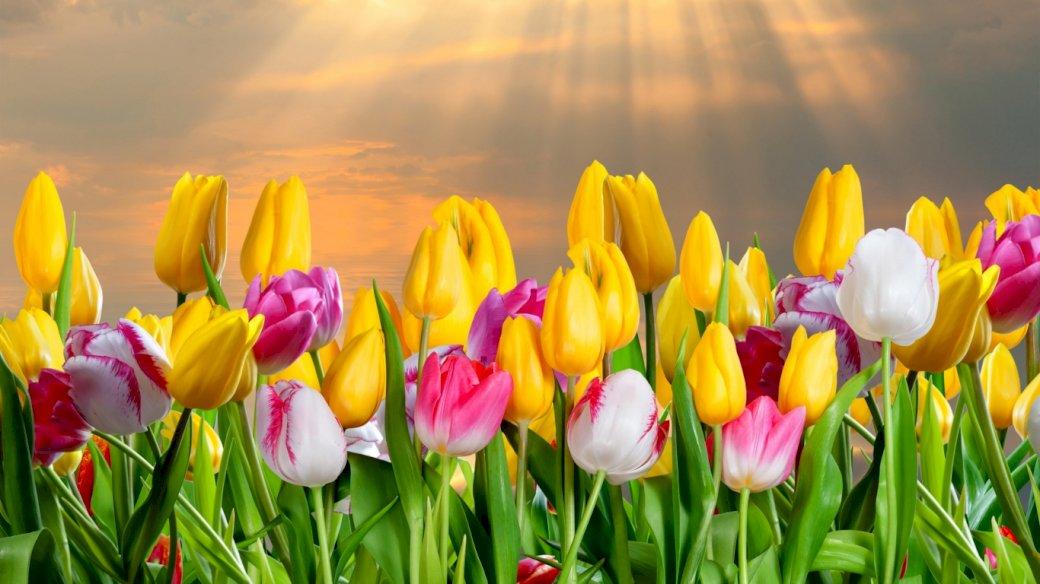 Kolorowe Tulipany - Pole Kolorowych Tulipanów (7×7)
