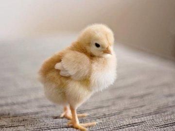 Kurczaczek - Ułóż puzzle, co znajduję się na obrazku?