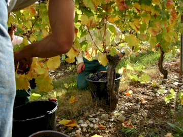 """Harvest in Quercy Caussadais - In the heart of Quercy Caussadais, the AOC Coteaux du Quercy wines are labeled """"Vineyards &"""