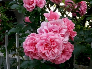 różowe róże - najbardziej różowe róże