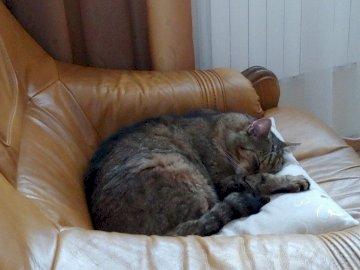 kotek na fotelu - kotek na skórzanym fotelu
