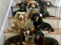 Cheio de dachshunds - Eles são todos fofos e arrumados