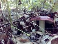 Muchomorek - Um cogumelo por baixo das folhas parece