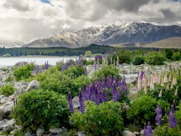 new_zealand_mountains_flowers_lake - new_zealand_mountains_flowers_lake