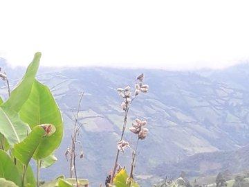 Achira colombien - fond montagneux avec des plantes