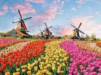 Holandské tulipány.