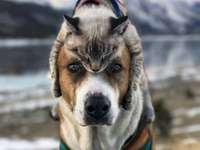 Kočičí pes