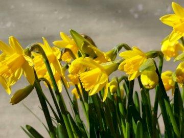 Gelbe Narzissen gegen - Gelbe Narzissen blühen tagsüber.
