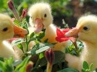 Kachny, květiny