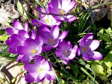 The first crocuses - The first spring crocuses