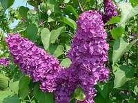 Fleur-lilas - Fleur de printemps au printemps. La couleur est violette, rose ou blanche.