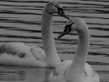 Why not that - Swans on Lake Auron