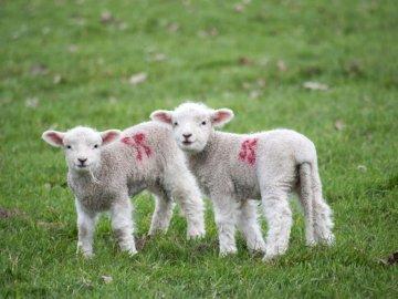 Lämmer auf einem Feld - Zwei weiß-rote Schafe. Vereinigtes Königreich