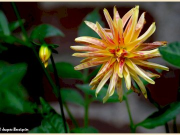 marie-do - orange dahlia flower on green background