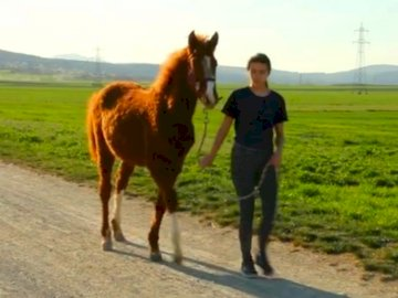Pfeed beim spazieren gehen - Ein Pferd das mit einem Kind spazieren geht.