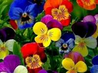 marie-do - multicolored pansies blooming in spring colorful flowers in spring marie-do
