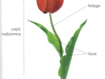 Tulip plant - Plant in the tulip garden