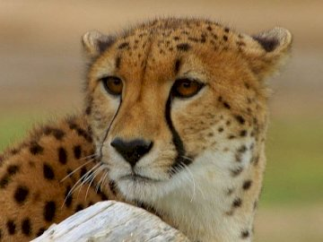 << >> GEPARD - make your own cheetah and show what you can do;)