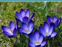 Fleurs de printemps - crocus - Crocus - fleurs de printemps. QUAND UNE GRANDE CROISIÈRE :). Gdy zakwitną krokusy.