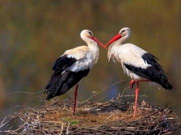 zwei Störche - zwei Störche im Nest umwerben