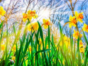 Pierwsze oznaki wiosny - Narcyzy to jedne z wiosennych kwiatów. Jakie znacie inne?