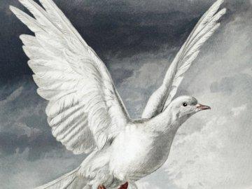 Biały gołąb - Gołąb na obrazie, zwierzęta