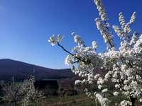 Morvan αχλάδι