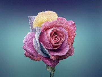 Kolorowa róża na niebieskim tle - Kolorowa róża na niebieskim tle