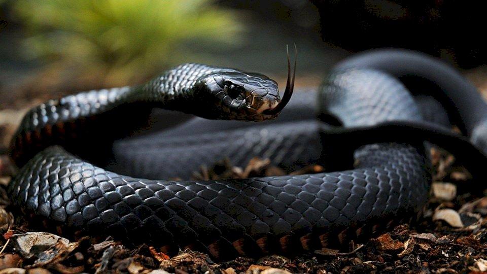 Giftschlangenart