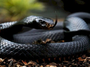 Black Mamba - Black mamba - a species of venomous snake from the treacherous family inhabiting Sahel, central and