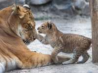 Mother with a kitten (games) - Beautiful mums and cubs. Young nudges mommy's paw