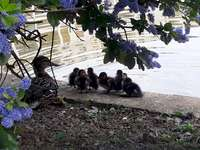 duck family - Ducklings with mother under lilac by the water