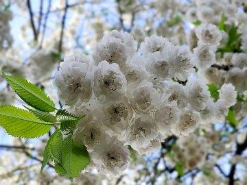 Mattina in giardino - Mattina in giardino, alberi in fiore, primavera