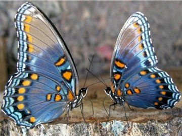 Insects ... - Jigsaw puzzle. Pets. Butterflies.
