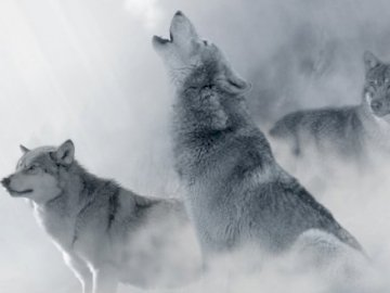 Wolves in a snowstorm - Wolves howl in a snowstorm