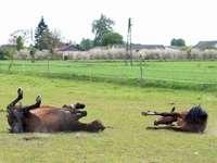 cavalos no pasto - Dois cavalos rolando no pasto
