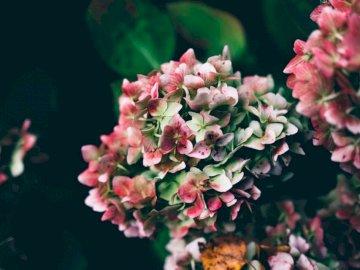 Różowa i biała hortensja - Fotografia selektywnej ostrości różowych płatków kwiatów. New Forest National Park, Wielka Bry