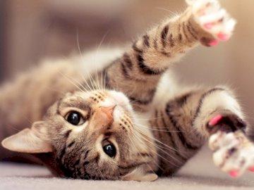Chat domestique - Chat domestique - espèce de mammifère domestiquée