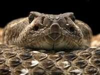 Vipera di zigzag - una specie di serpente velenoso della famiglia