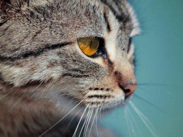 Oeil de chat doré - Macro photographie de chat tigré. Assilah