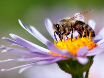 insecto abeja - abeja en una flor