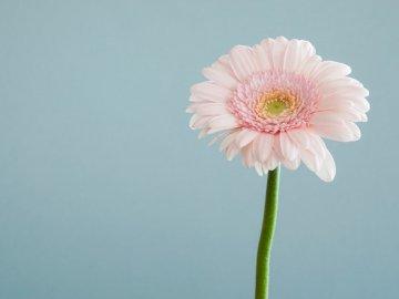 Gerbera rose de près - Photographie de mise au point sélective de fleur pétale rose. Brighton